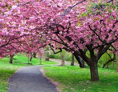 bigstock-Cherry-Blossom-Path-19502825