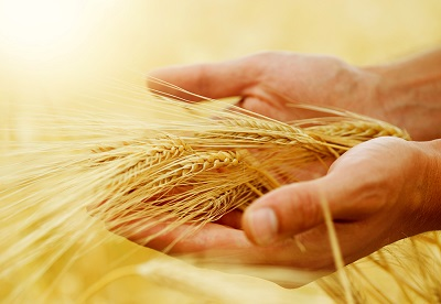 bigstock-Wheat-Harvest-concept-12573353
