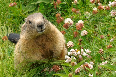 bigstock-Groundhog-In-His-Natural-Habit-6715286