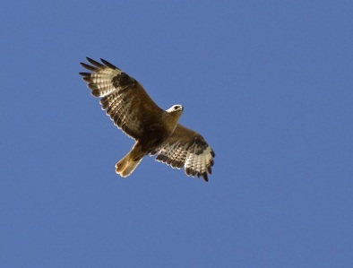 bigstock-Long-legged-Buzzard-Soaring-In-41917708