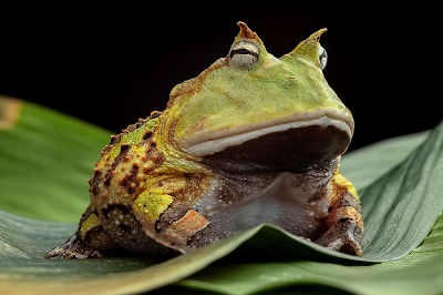 Pacman frog or toad, South American horned frogs Ceratophrys cor