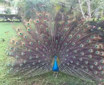 Elizabeth's Peacock