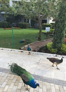 peacocks on their street