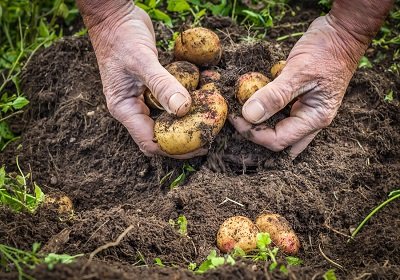 Male hands harvesting fresh potatoes from soil