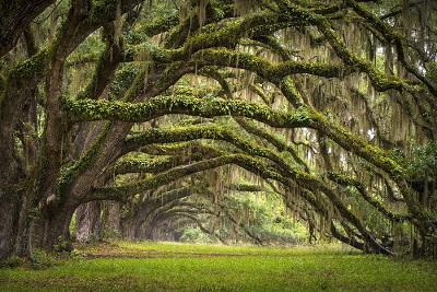 Oaks Avenue Charleston Sc Plantation Live Oak Trees Forest Lands