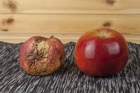 Two different apples, fresh and withered. Rotten apple.