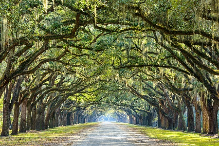 Savannah, Georgia, USA oak tree lined road at historic Wormsloe