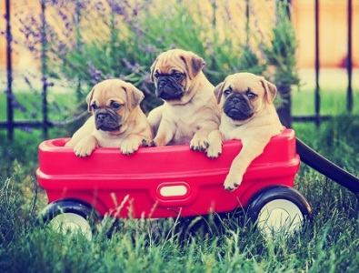 Three pug chihuahua mix - chug- puppies in a red wagon toned